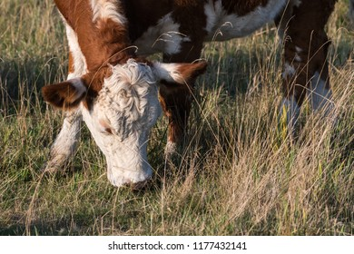 Closeup of a grazing cow in a green grassland
