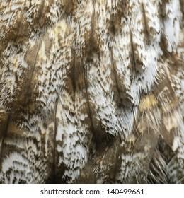Closeup Great Grey Owl feathers