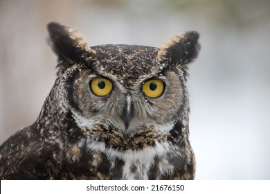 Close-up of Great Horned Barn Owl outside in winter. Flakes of snow on feathers. Vertical format.