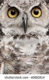 Close-up of Great Horned Owl, Bubo Virginianus Subarcticus