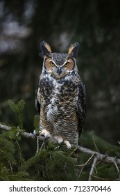 A close-up of a Great Horned Owl (Bubo virginianus) looking at the camera.