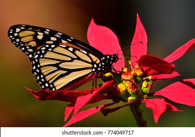 Closeup of great monarch butterfly on colorful christmas flowers, poinsettia