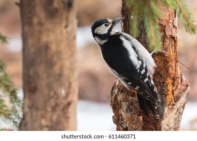 Close-up of a great spotted woodpecker