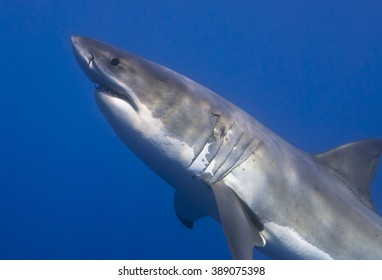 Close-up of a great white shark in clear blue water.