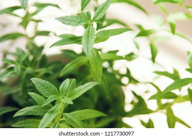 Close-up of green aloysia citrodora, lemon beebrush is perfect ingredient for hot beverage. Lemon verbena is growing on the balcony. Selective focus.