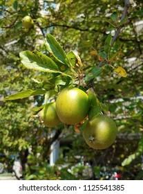 closeup green apple