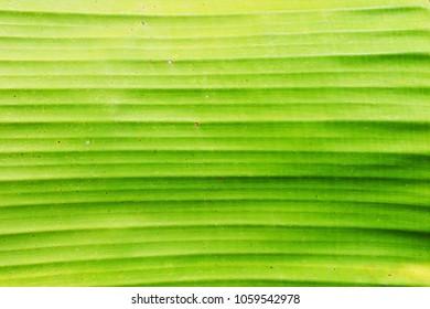 closeup of green banane palm leaf texture background