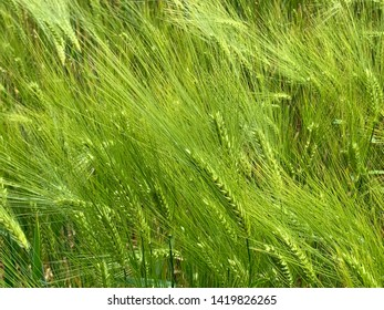 Close-up of green barley on a sunny day
