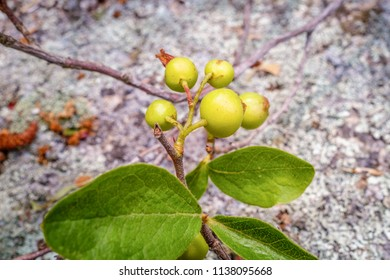 Close-up of green berries in autumn