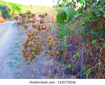 Closeup of green blackberry fruits in Andalusian country lane