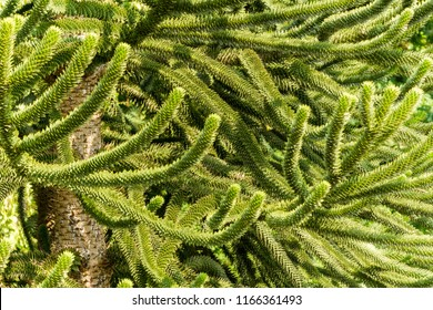 Close-up of green Branches of a Araucaria Tree.