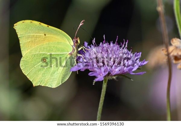 closeup-green-butterfly-feeds-on-600w-15