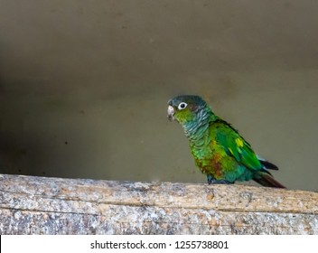 closeup of a green cheeked parakeet walking over a branch, a colorful small parrot from brazil