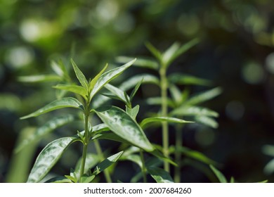 Closeup of Green chiretta (Andrographis paniculata) plant, popularly known as Kalmegh in Bengali language and is being used as medicinal plant from age old days in Indian Subcontinent.