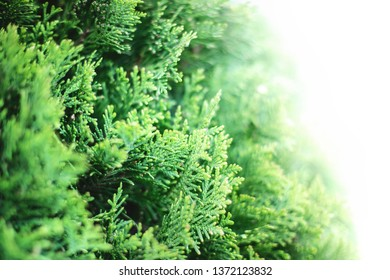 Closeup of green christmas evergreen leaves of Thuja trees on white background. Thuja twig, Thuja occidentalis, Platycladus orientalis, Chinese thuja. Evergreen plant. Copy space for text