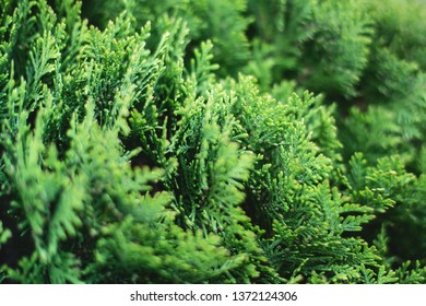 Closeup of green christmas leaves of Thuja trees on white background. Thuja twig, Thuja occidentalis, Platycladus orientalis, Chinese thuja. Evergreen plant
