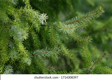 Close-up of green Christmas trees in nature