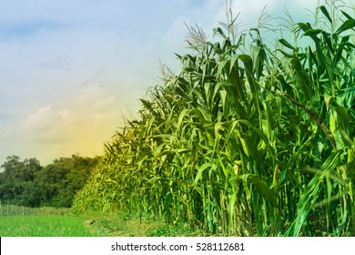 Closeup Green corn field on natural background texture