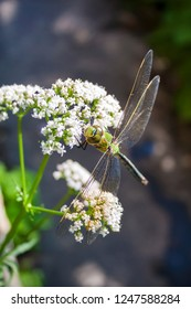 Closeup of green dragonfly sitting on blooming common Valerian (Valeriana officinalis)