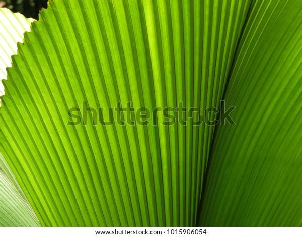 Closeup of green fan palm tropical plant licuala grandis