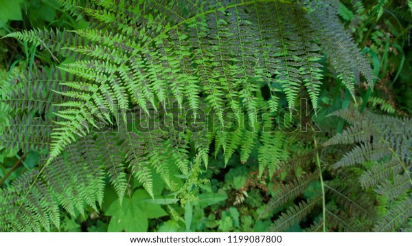 Close-up of green ferns growing in the Olympic National Park, Washington state.