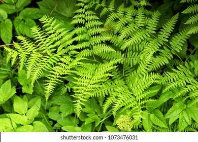 A closeup of the Green fronds on a Lady fern, a species of Athyrium filix-femina , found in wetter northern climates in the United States and Canada.