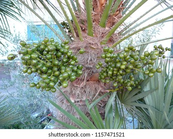 Closeup of Green fruit on Finger palm in Andalusian village