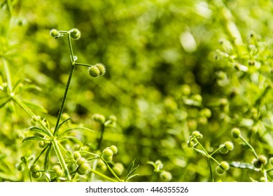 Close-up of green fruit plants Galium aparine L..