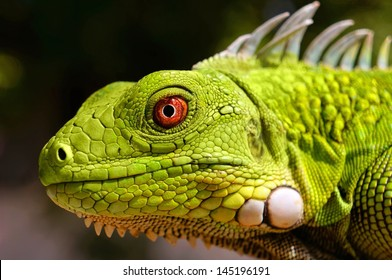 Closeup of green Iguana