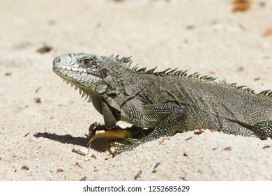 Closeup of a Green Iguana, Guadeloupe