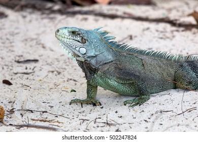 Closeup of a Green Iguana (Iguana iguana) - Guadeloupe