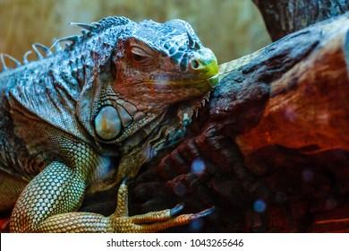 Closeup of a green iguana iguana iguana with its mouth