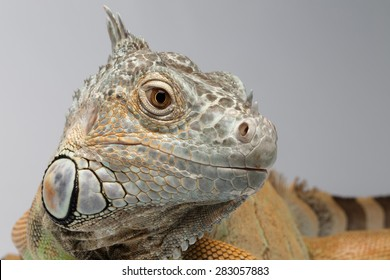 Closeup Green Iguana on White Background, Front view