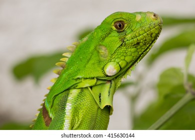 Closeup of a Green Iguana (Iguana iguana). Green Iguana Reptile Portrait Closeup Close