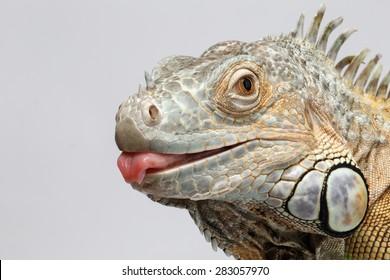 Closeup Green Iguana showing Tongue on White Background