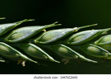 Closeup of a green immature wheat ear with wheat grains