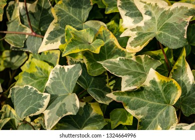Close-up green ivy Hedera helix Goldchild carpet. Original texture of natural greenery. Background of elegant leaves. Nature concept for design.  Selective focus