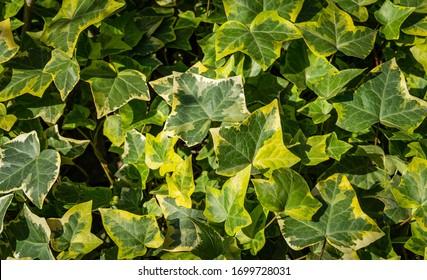 Nahaufnahme von grünem Efeu Hedera helix Goldchild-Teppich. Originelle Struktur der Natur. Hintergrund von eleganten, variierten Blättern.  Naturkonzept für Design. Selektiver Fokus