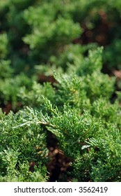 Closeup of green Juniper evergreen shrub foliage