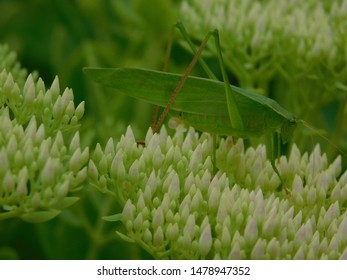 Closeup of a Green Katydid Bug Sitting on a Flower that is Ready to Bloom Outside in the Green Summer Garden