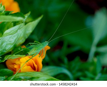 Close-up of a green katydid (bush cricket) camouflages itself on basil leaves in an outdoor garden, visible only because of orange marigold background. Horizontal.