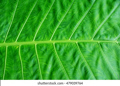 close-up of green leaf for a background.