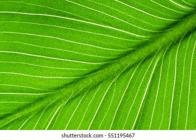 Close-up of green leaf calla flower