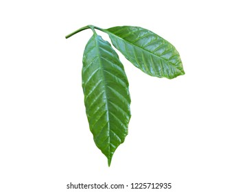 Closeup green leaf of coffee plant isolated on white background