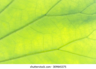 Closeup of a green leaf texture with visible veins