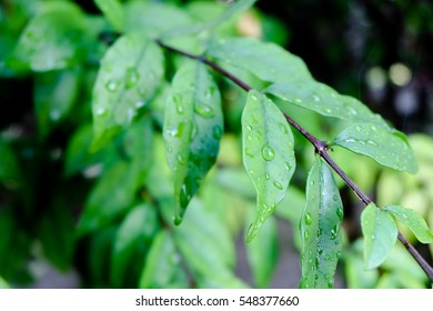Close-up of green leaf with water drops. Shallow DOF.
