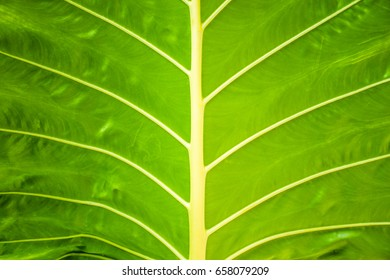 Close-up of a green leaf,Leaf texture abstract background with closeup view on veins,Close up of green leaf showing detailed veining.