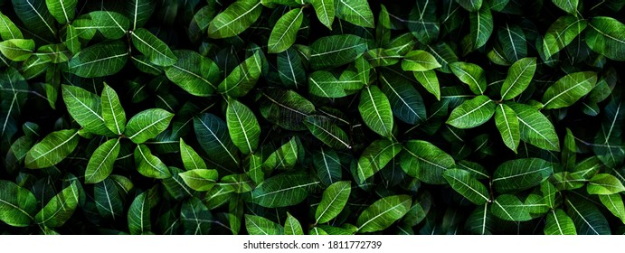 Closeup green leaves background, Overlay fresh leaf pattern, Natural foliage textured and background - Shutterstock ID 1811772739
