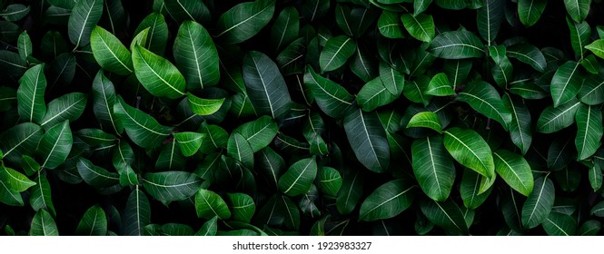 Closeup green leaves background, Overlay fresh leaf pattern, Natural foliage textured and background - Shutterstock ID 1923983327