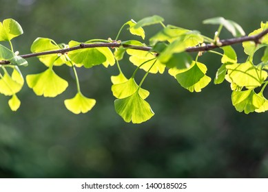 Close-up green Leaves of Ginkgo Biloba Tree in Chinese Park in Beijing